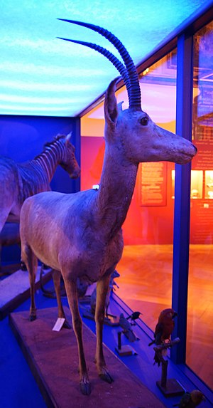 Bluebuck - One of four existing bluebuck skins, Vienna Museum of Natural History. The overall blue colouration is caused by the lighting.