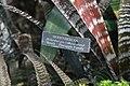 Hohenbergia correia-arauji 0zz.jpg