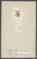 Holoptilus - Print - Iconographia Zoologica - Special Collections University of Amsterdam - UBAINV0274 002 02 0045.tif