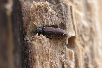 Woodworm - The common furniture beetle (Anobium punctatum) in situ