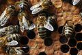 Honeybee varroa 14.jpg