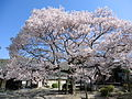 Honzenji (Iigai) sakura 2.JPG