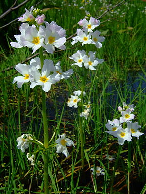 English: Water Violet in Kirchwerder, Hamburg....