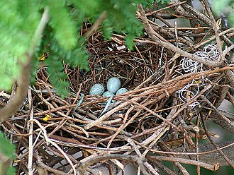 House crow - Nest with eggs