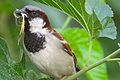 House Sparrow Male.JPG