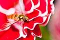 Hover fly on carnation-5.jpg