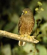 Hume's Hawk Owl 04.jpg