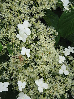 English: Hydrangea petiolaris — (synonym: Hydr...