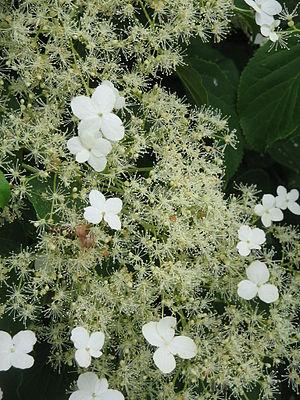 English: Hydrangea petiolaris — (synonym: Hydr...