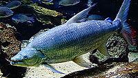 Hydrocynus goliath - Poisson-chien - Aqua porte Dorée 07.JPG