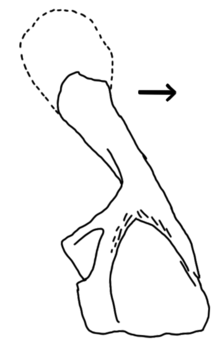 Hynerpeton medial shoulder.png