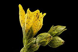 <i>Hypericum punctatum</i> species of plant