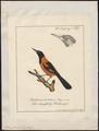 Icterus jamacaii - 1700-1880 - Print - Iconographia Zoologica - Special Collections University of Amsterdam - UBA01 IZ15800195.tif