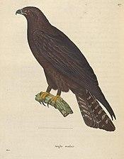 Ictinaetus malaiensis.jpg