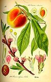 Illustration Prunus persica0