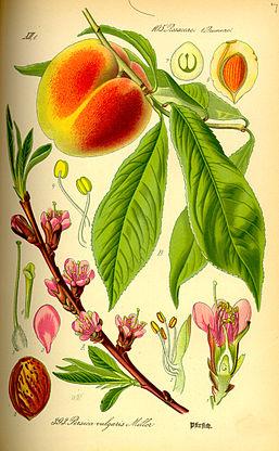 Prunus persica in Otto Wilhelm Thomé,  Flora von Deutschland, Österreich und der Schweiz, 1885