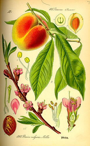 Peach flower, fruit, seed and leaves as illustrated by Otto Wilhelm Thomé (1885).