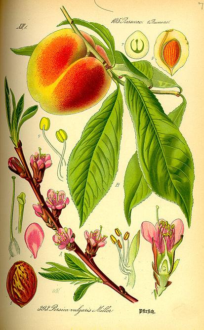симпатичные персики 3 русский перевод