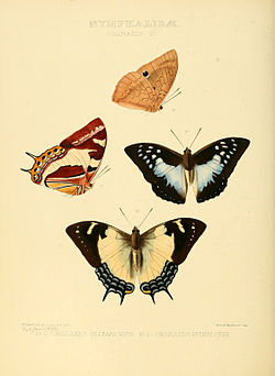 Illustrations of new species of exotic butterflies Charaxes IV.jpg