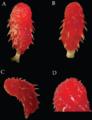 Imantodes chocoensis - ZooKeys-244-001-g004.xcf