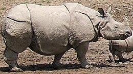Οι πτυχώσεις στην επιδερμίδα του ινδικού ρινόκερου ομοιάζουν με την «πανοπλία» που φιλοτέχνησε ο Ντύρερ.