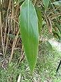Indocalamus tesselatus1.jpg