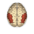 Inferior parietal lobule - superior view2.png