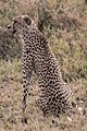 Injured Cheetah Mother (27657310003).jpg