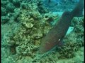 File:Interspecific-Communicative-and-Coordinated-Hunting-between-Groupers-and-Giant-Moray-Eels-in-the-pbio.0040431.sv004.ogv