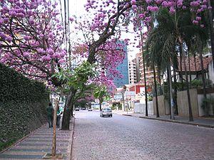 Ipês lilás na coronel quirino cambuí 002