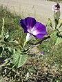 Ipomoea purpurea sl4.jpg