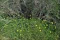 Iris-Hill-Oxalises-003.jpg