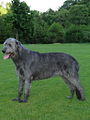 Irish Wolfhound 4.jpg