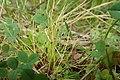 Isolepis setacea kz01.jpg