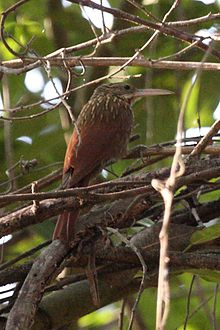 Ivory-billed Woodcreeper.jpg