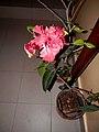 Izbový kvet 19 Slovakia3.jpg
