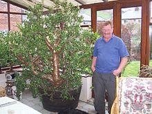 Денежное дерево другое название цветка