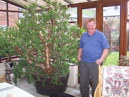 Денежное дерево 60 фото Ваша удача и богатство
