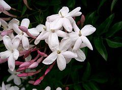 240px jasminum polyanthum2
