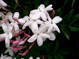 Jasminum polyanthum2