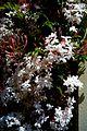 Jasminum polyanthum - Flickr - odako1 (2).jpg