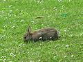 Jielbeaumadier lapin de garenne 1 dover 2009.jpeg
