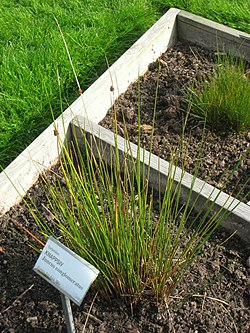 Juncus conglomeratus - Oslo botanical garden - IMG 8916.jpg
