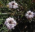 Junellia lavandulifolia (8726586293).jpg