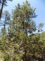 Juniperus durangensis imported from iNaturalist 27 May 2019.jpg