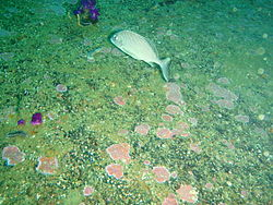 Juvenile bank steenbras on the wreck of MFV Princess Elizabeth P3167287.JPG