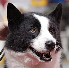 Karelian Bear Dog Wikipedia