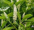 Karmozijnbes (Phytolacca esculenta). Locatie, De Kruidhof Buitenpost 02.jpg