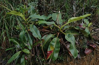 Nepenthes rajah - Mature plants bearing both lower and upper pitchers