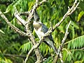 Kingfisher staring (29124016762).jpg